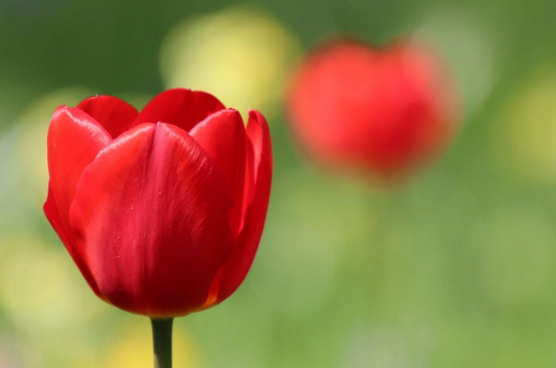 tulips-4469715_1920